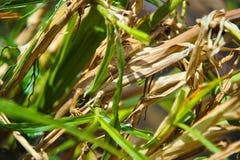 在草的蜥蜴 伪装 越南 库存图片
