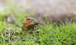 在草的蜥蜴,美好的背景 免版税库存图片