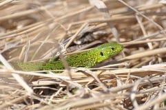 在草的蜥蜴 库存图片