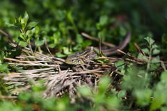 在草的蜥蜴 免版税库存图片