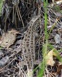 在草的蜥蜴 免版税库存照片