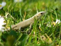 在草的蜥蜴 库存照片