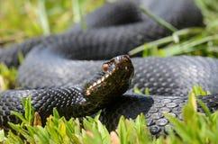 在草的蝰蛇属nikolskii 免版税库存照片