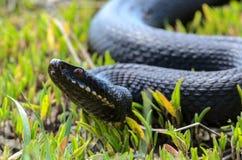 在草的蝰蛇属nikolskii 免版税库存图片