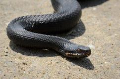 在草的蝰蛇属nikolskii 库存图片