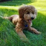 在草的袖珍狮子狗小狗 免版税库存图片