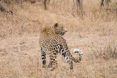 在草的豹子 免版税库存图片