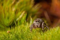 在草的跳跃的蜘蛛步行 免版税库存照片