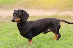 在草的达克斯猎犬狗 免版税库存照片