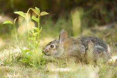 在草的逗人喜爱的小的复活节兔子 免版税库存照片