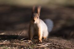 在草的逗人喜爱的灰鼠位子在公园, forrest晴天 库存图片