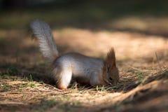 在草的逗人喜爱的灰鼠位子在公园, forrest晴天 免版税图库摄影