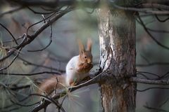 在草的逗人喜爱的灰鼠位子在公园, forrest晴天 图库摄影