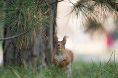 在草的逗人喜爱的灰鼠位子在公园, forrest晴天 免版税库存照片