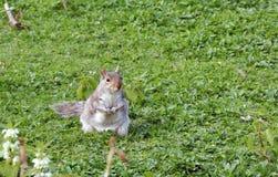 在草的逗人喜爱的灰鼠 库存图片