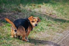 在草的逗人喜爱的狗船尾 免版税库存照片