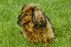 在草的逗人喜爱的狗 免版税库存照片