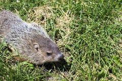 在草的逗人喜爱的groundhog 免版税图库摄影