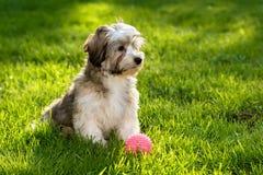 在草的逗人喜爱的havanese小狗与一个桃红色球 免版税图库摄影