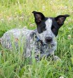 在草的逗人喜爱的Heeler小狗 库存照片