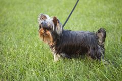 在草的逗人喜爱的yorkie小狗 图库摄影
