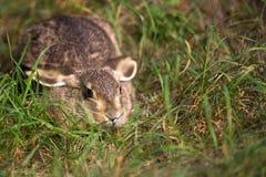 在草的野兔,在狂放 库存照片