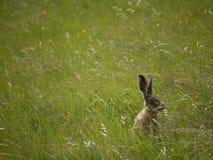在草的野兔 免版税库存图片