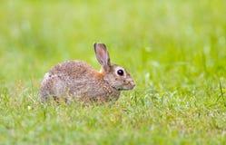在草的野生兔子 库存照片