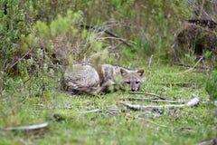 在草的野生灰狐狸 免版税库存图片