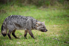 在草的野生灰狐狸 图库摄影
