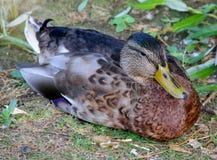 在草的野鸭 免版税库存照片