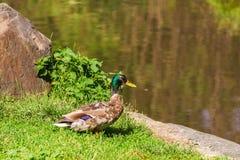 在草的野鸭 库存图片