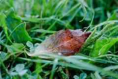 在草的铁锈红色秋天叶子与露滴 免版税库存照片