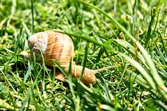 在草的锅牛螺旋Aspersa 库存照片