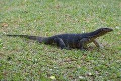 在草的镶边监控蜥蜴水监控器蜥蜴 公园Lumpini,曼谷 库存图片