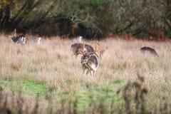 在草的雄鹿,新的森林英国 免版税库存照片