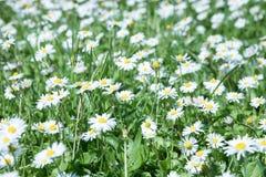 在草的雏菊 图库摄影