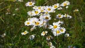 在草的雏菊 库存图片