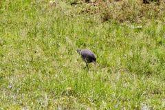 在草的雕Guineafowl 库存照片