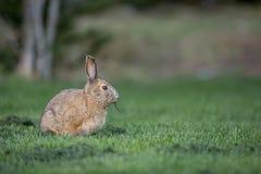 在草的雪兔 图库摄影