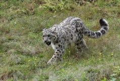 在草的雪豹狩猎 免版税库存照片