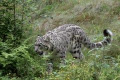 在草的雪豹狩猎 图库摄影