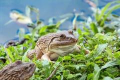 在草的青蛙在反射天空的水池附近 库存照片