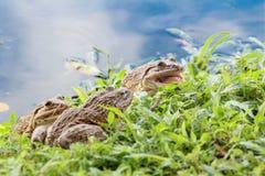 在草的青蛙画象在反射天空的水池附近 库存图片