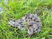 在草的青蛙 图库摄影