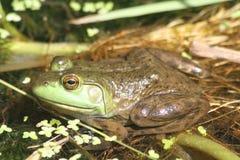 在草的青蛙 免版税库存照片