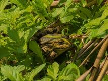 在草的青蛙 免版税库存图片