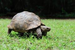 在草的非洲被激励的草龟 免版税库存图片