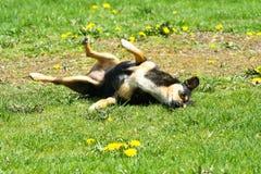 在草的领域的狗辗压 免版税库存图片