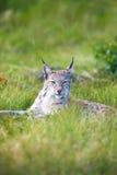 在草的骄傲的天猫座 库存照片
